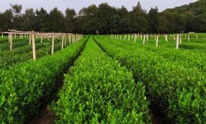 日照绿茶多少钱一斤?